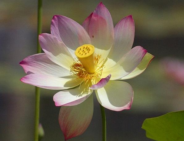 Lotus Blossom Landscapes Floret Nature Nature Coun