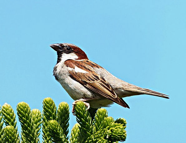 Sparrow Fowl Freedom Liberty Bird Fly Hover Field