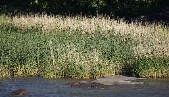 Finnish Mustikkamaa Beach Helsinki Reeds Canes Str
