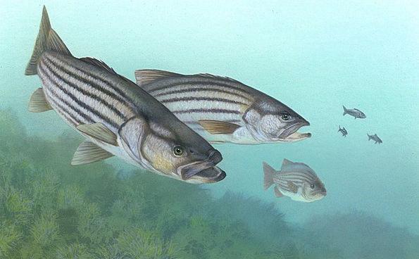 Perch Roost Fish Angle Stripe Bass Morone Saxatili