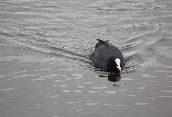 Coot Water Bird Fulica Atra Coots See Understand