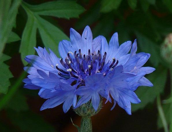 Cornflower Azure Flower Floret Blue Summer Straw-h
