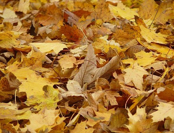 Leaves Greeneries Maple Fall Foliage Maple Leaves