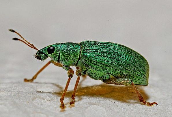 Weevil Instruction Arthropod Macro Biology Entomol