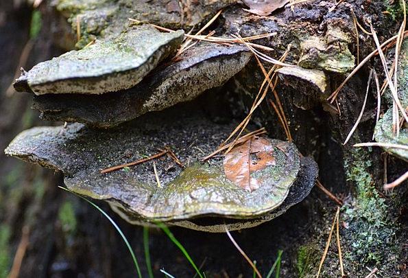 Birch Fungus Autumn Fall Bos