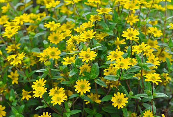 Hussar Buttons Landscapes Floret Nature Yellow Cre