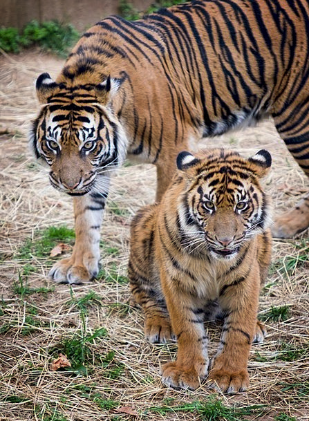 Tigers Landscapes Nature Big Cats Sumatran Tigers
