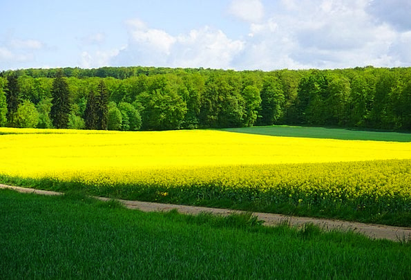 Field Of Rapeseeds Landscapes Countryside Nature L