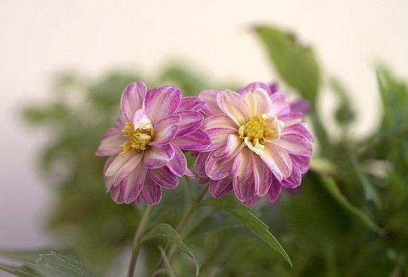 Lilac Mauve Landscapes Flowery Nature Plant Vegeta