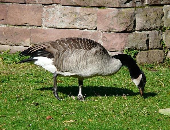 Canada Goose Goose Branta Canadensis Water Bird Ru
