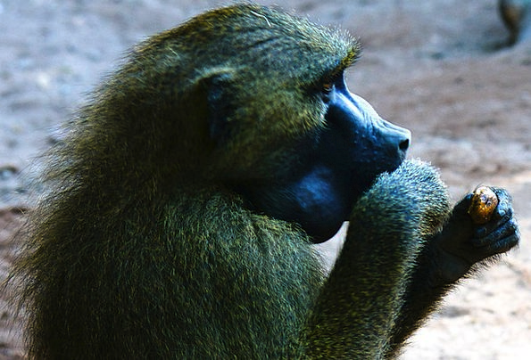 Baboon Landscapes Ape Nature Animals Faunae Monkey