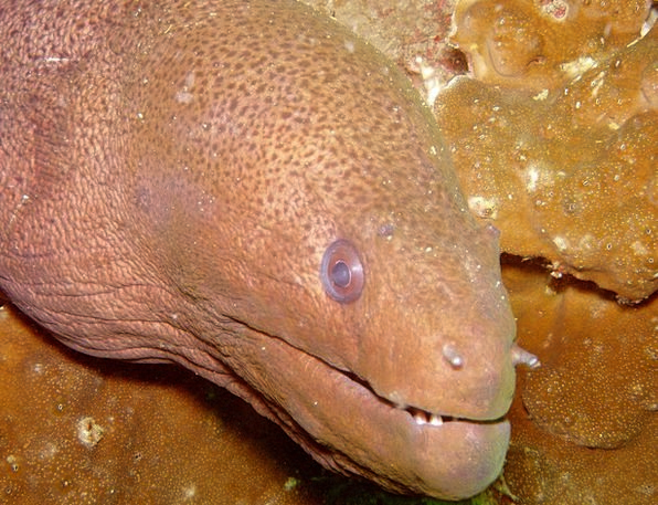 Diving Headfirst Giant Moray Moray Under Below Mor