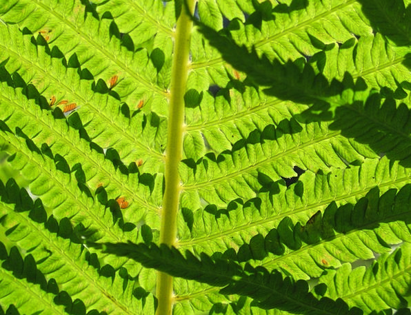 Fern Leaf Textures Lime Backgrounds Detail Part Gr