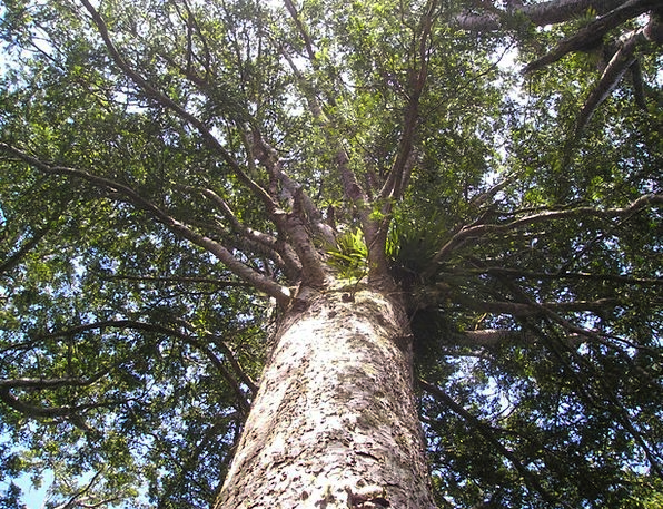 Kauri Sapling Giant Tree Tree Huge I Riesen Trees