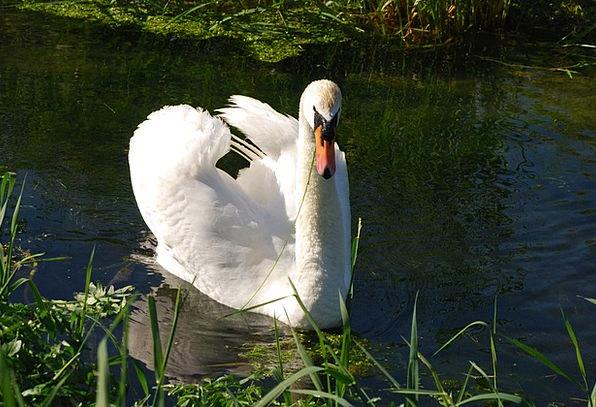 Mute Swan Plumage Down Cygnus Olor Waterfowl Duck