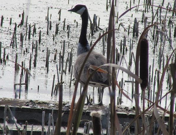 Bird Fowl Nature Countryside Goose Pond Wildlife R