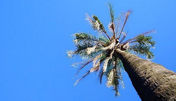 Coconut Tree Sapling Sky Tree Blue Azure