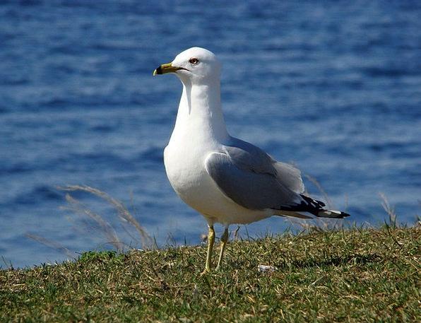 Gull Seabird Seagull Laridae Bird Mew Fowl
