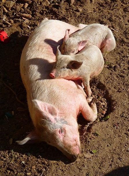 Pig Glutton Mammal Creature Piglet Animals Faunae