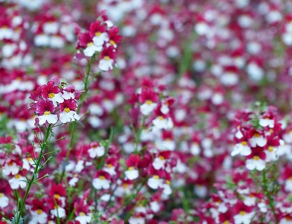 Elf Mirror Floret Red Bloodshot Flower Nemesia Str
