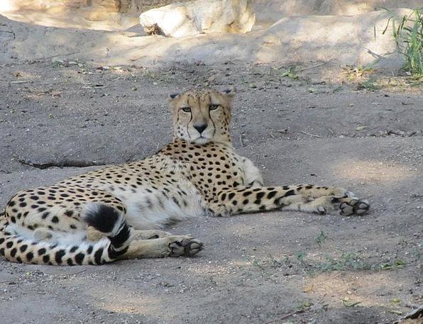 Cheetah Cat Feline Big Cat Fastest Land Animal Aci