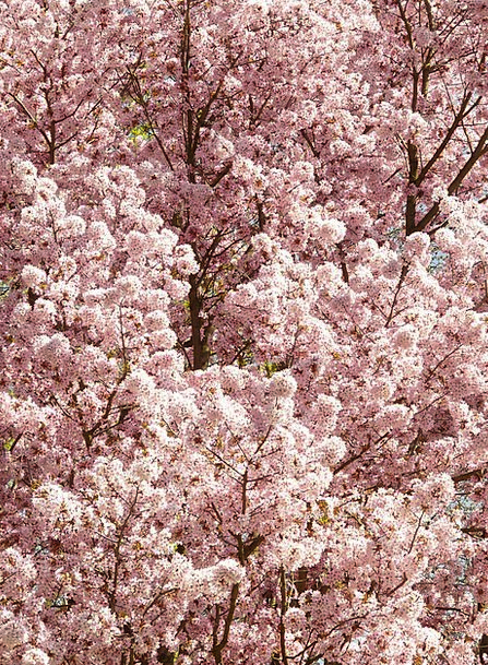 Cherry Blossom Floret Tree Sapling Flower Bloom Ja