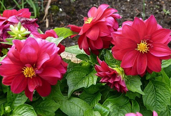 Dahlia Landscapes Bloodshot Nature Flower Floret R