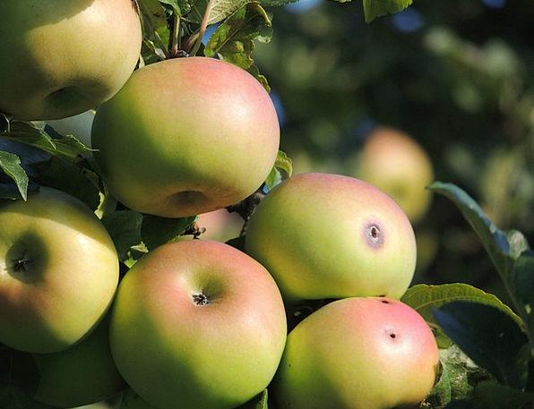 Apple Apple Tree Apfelernte Orchard Plantation Win