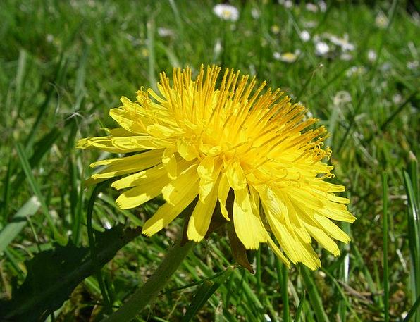 Dandelion Floret Botany Flower
