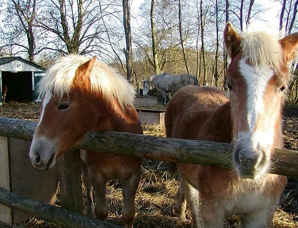 Haflinger Mount Pony Horse Foal Pasture Animal Mea