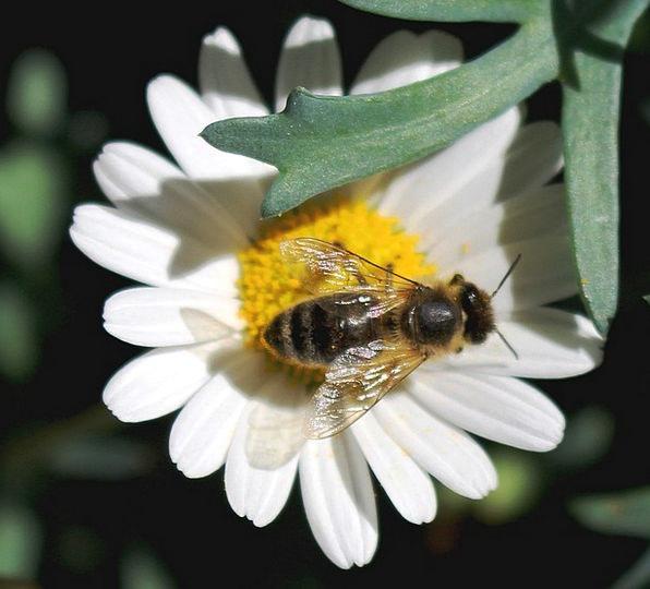 Bee Floret Pollen Flower Nectar Liquid Margarithe