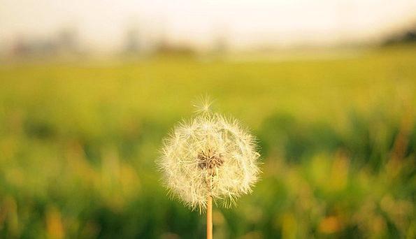 Dandelion Landscapes Countryside Nature Flower Flo