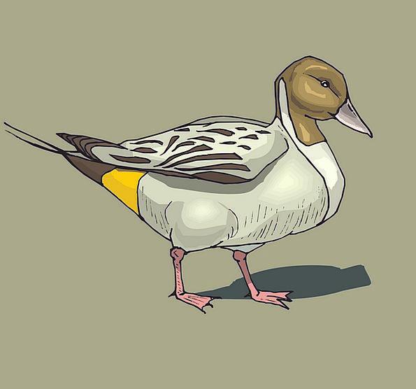 Duck Stoop Brown Chocolate Pintailbird Avian Bird