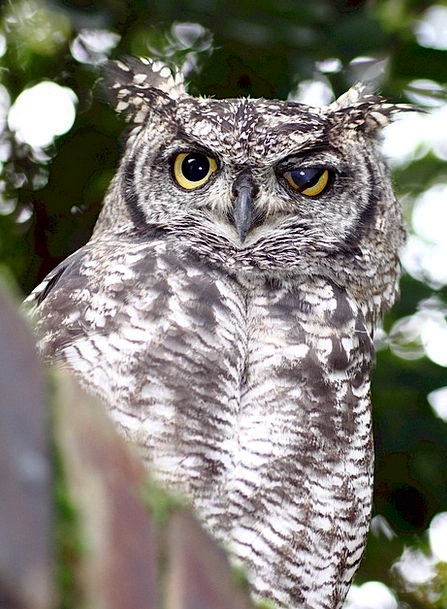 Owl Dotted Eagle Spotted Cute Bird Fowl Wild Natur