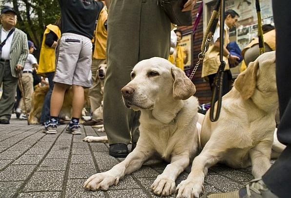 Dog Canine Pet Domesticated Golden Retriever