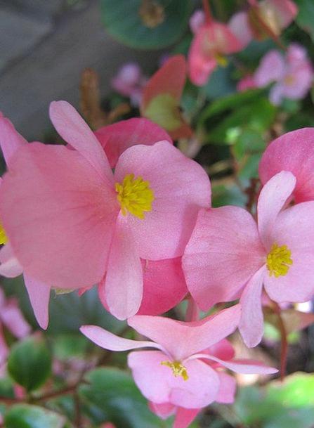Begonia Floret Floral Flowery Flower Flora Summer