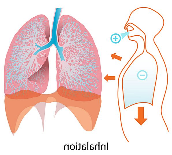 Lungs Medical Drawing Health Anatomy Structure Diagram