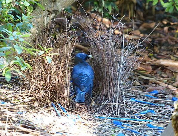 Satin Bowerbird Fowl Ptilonorhynchus Violaceus Bir