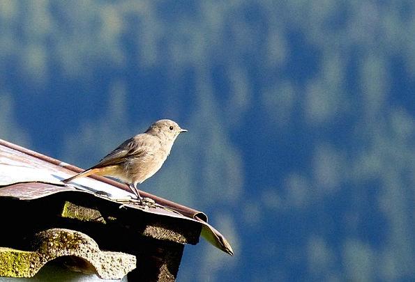 Rotschwaenzchen Fowl Sheet Metal Roof Bird Small B