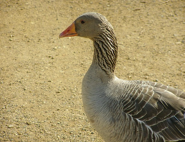 Goose Farmhouse Bird Fowl Farm Poultry Agriculture