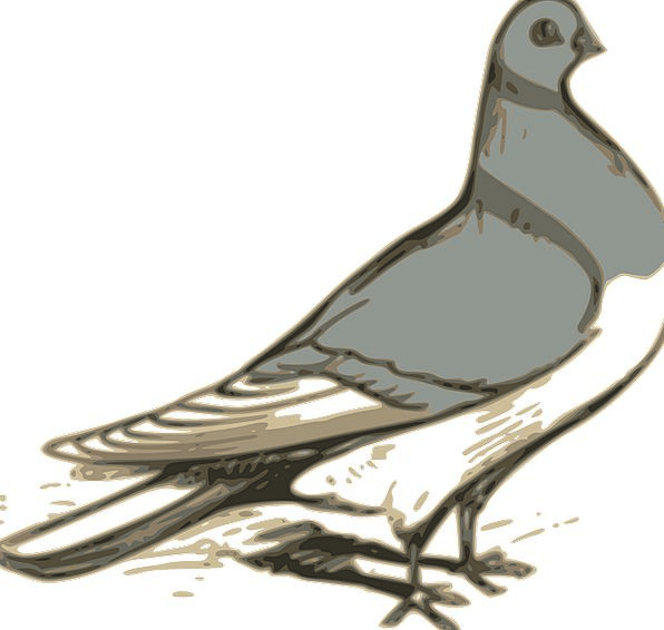 Pigeon Mark Fowl Grey Old Bird Standing Stand-up S