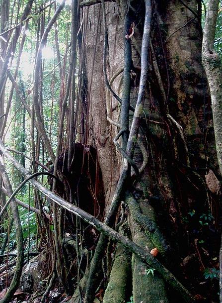 Tangled Twisted Landscapes Sapling Nature Jungle Rainforest Tree Domenica Trees Flora Tangle Plants Nature Pixcove