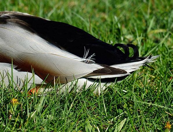 Rump Rear Stoop Ducktail Duck Anas Platyrhynchos M