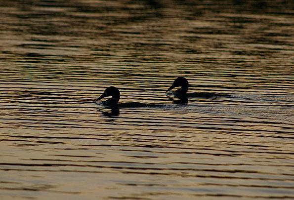 Ducks Dears Freshwater Loons Lake Beak Pond Pool W