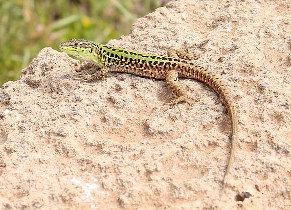 Lizard Animal Physical Reptile