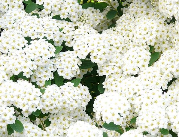 Glory Spierstrauch Plants White Snowy Flowers Hedg