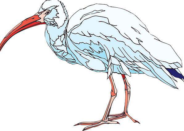 White Snowy Fowl Wings Annexes Bird Ibis Beak Feat