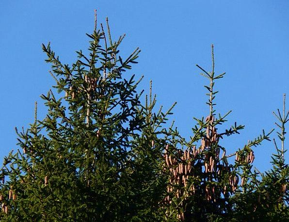 Pine Cones Blow Tree Sapling Tap Conifer Picea Com