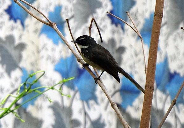 White-Throated Fantail Flycatcher Bird Fowl Rhipid