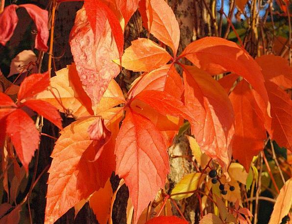 Wine Partner Bloodshot Leaves Greeneries Red Autum